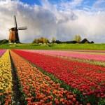 Holanda - Plantação de tulipas com moinho ao fundo (Foto: divulgação)