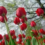 Holanda - Tulipas vermelhas (Foto: divulgação)