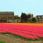 Campos de tulipas na Holanda (Foto: divulgação)