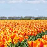 Tulipas laranjas da Holanda (Foto: divulgação)