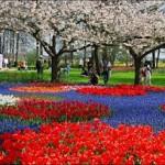 Mais de três bilhões de tulipas são plantadas a cada ano na Holanda (Foto: divulgação)