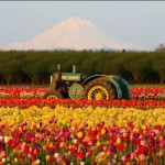 Holanda - Explosão de cores no país das tulipas (Foto: divulgação)