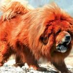 O Mastiff Tibetano é uma das raças caninas mais antigas do mundo. (Foto:Divulgação)