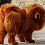 O cachorro mais caro do mundo pertence a raça  Mastiff Tibetano. (Foto:Divulgação)