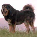 É um cão enorme, mas seus antepassados eram maiores. (Foto:Divulgação)