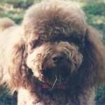 Poodle com pelagem marrom. (Foto:Divulgação)