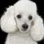 O poodle é um cão afetuoso, companheiro e brincalhão. (Foto:Divulgação)