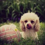 O poodle é um verdadeiro membro da família. (Foto:Divulgação)