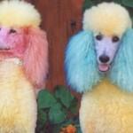 A pelagem colorida é uma opção para o poodle. (Foto:Divulgação)