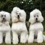 Cães da raça poodle gigante. (Foto:Divulgação)