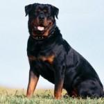 O porte físico avantajado do rottweiler chamou a atenção do Imperador Nero, que usou vários cães da raça para proteger o seu castelo. (Foto: Divulgação)