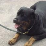 O rottweiler vive, em média, de 10 a 12 anos. (Foto: Divulgação)