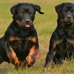 Os cães rottweiler são originários da região de Rottweil, na Alemanha. (Foto: Divulgação)