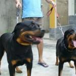 Uma boa criação é importante para manter um temperamento calmo do rottweiler. (Foto: Divulgação)