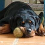 O proprietário deve prestar atenção à alimentação do rottweiler, para que ele não fique muito pesado. (Foto: Divulgação)