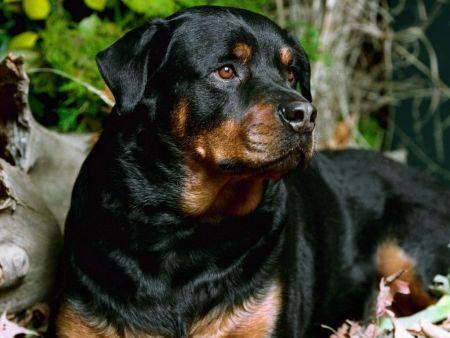 Os cães rottweiler são muito usados como vigias de residências e empresas. (Foto: Divulgação)