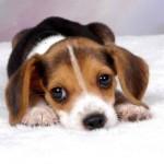 São cães fáceis de conquistar, por isso não servem para a guarda. (Foto:Divulgação)