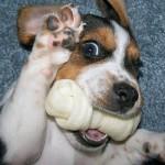 O Beagle tem tudo para se tornar um verdadeiro membro da família. (Foto:Divulgação)
