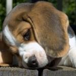 São fáceis de conviver, por isso se dão bem com cães de outras raças. (Foto:Divulgação)