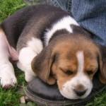 Filhote de Beagle encostado no pé do seu dono. (Foto:Divulgação)