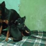 Fêmea amamentando os filhotes (Foto: Divulgação)
