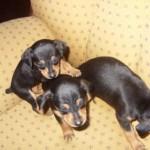 Desde filhotes, é importante que eles já comecem a socializar-se com outros cães