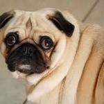 Com relação ao peso, o Pug costuma ter entre 6,5 kg e 11,5 kg. (Foto: Divulgação)