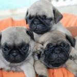 Desde pequenos, os Pugs já são bem alertas e prestam atenção em tudo. (Foto: Divulgação)
