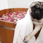Banho no Pug só quando ele estiver bem sujo. (Foto: Divulgação)