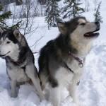 Com pelagem farta, o Husky Siberiano aguenta a neve sem nenhum problema. (Foto: Divulgação)