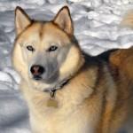 É possível encontrar cães da raça em várias cores. (Foto: Divulgação)