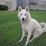 Husky Siberiano todo branco. (Foto: Divulgação)