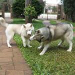 O Husky Siberiano mede de 50cm a 60cm. (Foto: Divulgação)