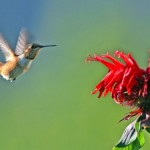Eles adoram se alimentar do néctar das flores. (Foto: Divulgação)