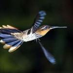 Ele bate as asas de 70 a 80 vezes por segundo. (Foto: Divulgação)