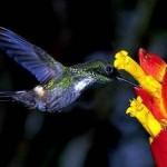 Além do néctar, ele também se alimenta de formigas, moscas e aranhas. (Foto: Divulgação)