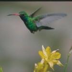 """Ele """"visita"""", diariamente, cerca de 1500 flores. (Foto: Divulgação)"""