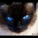 Os gatos domésticos são uma adaptação evolutiva dos gatos selvagens (Foto: Divulgação)