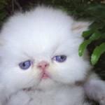 Gato persa de olhos azuis (Foto: Divulgação)