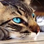 O gato tem uma ótima impulsão, podendo alcançar alturas 5 vezes superiores ao seu tamanho (Foto: Divulgação)