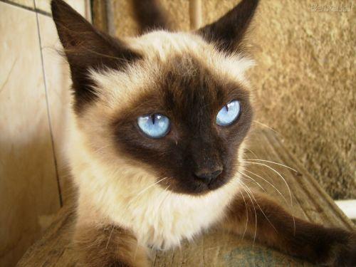 Os gatos com olhos azuis estão entre os preferidos das pessoas que adoram criar os felinos (Foto: Divulgação)