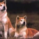 Eles possuem um visual semelhante ao dos lobos (Foto: Divulgação)