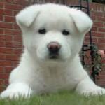 O akita é um cão muito paciente (Foto: Divulgação)