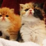 O gato persa pode apresentar uma grande variedade de cores (Foto: Divulgação)
