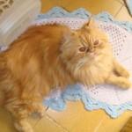 O gato persa macho costuma pesar de 4 kg a 5 kg (Foto: Divulgação)