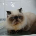 O gato persa é um dos mais populares do mundo (Foto: Divulgação)