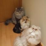 Eles adoram a companhia de outros gatos (Foto: Divulgação)