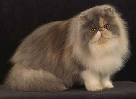 O gato persa teve origem na antiga Pérsia, onde hoje fica o Irã (Foto: Divulgação)