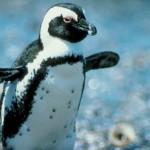 Filhote de pinguim (Foto: Divulgação)