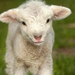 Filhote do carneiro e da ovelha - cordeiro (Foto: Divulgação)